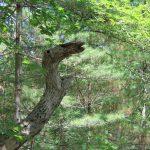 Habitant des bois