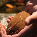 Le vilain concombre de mer